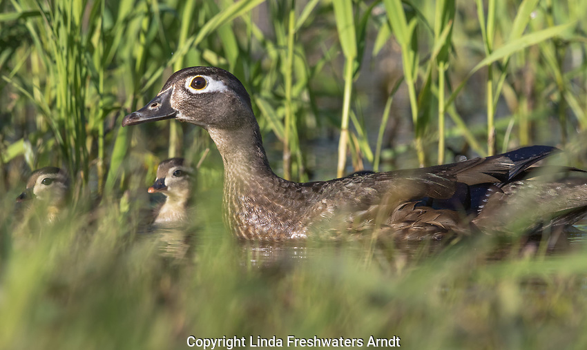 Wood Duck - Hen & Ducklings in northern Wisconsin