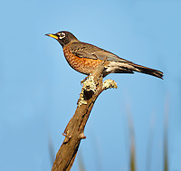 American Robin, female perched on stick