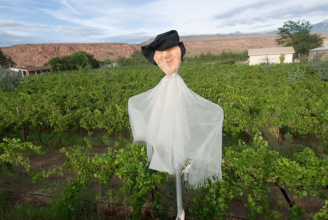 A scarecrow guards against birds at Spanish Valley winery near Moab, Utah