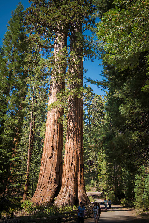 September 2014 / Yosemite National Park landscapes / Redroods at Mariposa Grove / Photo by Bob Laramie