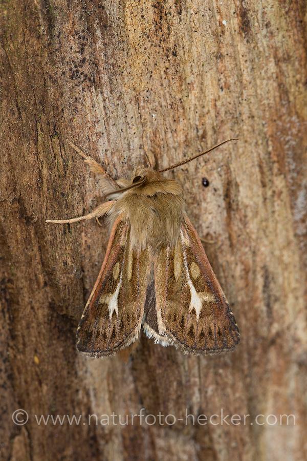 Dreizack-Graseule, Cerapteryx graminis, Chareas graminis, Antler Moth, Eulenfalter, Noctuidae, owlet moths