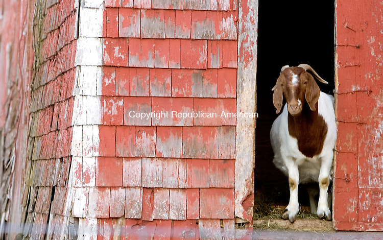 SOUTHBURY, CT--09 MARCH 2007--030907JS24- A goat looks out the bard door at the farm of Rollin Hannan of Southbury. FOR COUNTRY LIFE<br /> Jim Shannon / Republican-American