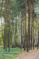 Conifers and birch trees in city park. Rawa Mazowiecka Central Poland