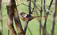 Towhee- Spotted
