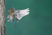 Eastern Bluebird, Sialia sialis, female in flight, Willacy County, Rio Grande Valley, Texas, USA, April 2004