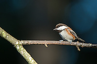 Chestnut-backed Chickadee, Washington