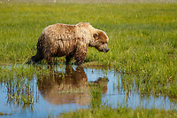 Grizzly Bear reflection in water while walking in grass at Silver Salmon Creek area in Lake Clark National Park.      Alaska<br /> <br /> Photo by Jeff Schultz/SchultzPhoto.com  (C) 2018  ALL RIGHTS RESERVED