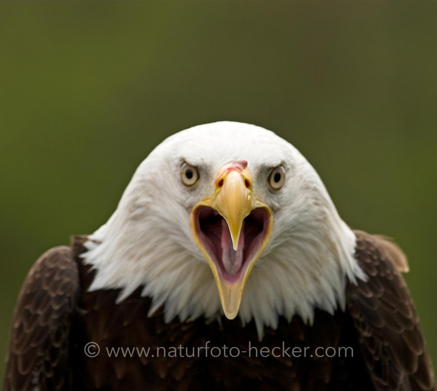 Weißkopf-Seeadler, Weißkopfseeadler, Weisskopf-Seeadler, Seeadler, Adler, Portrait, rufend, schreiend, Haliaeetus leucocephalus, bald eagle