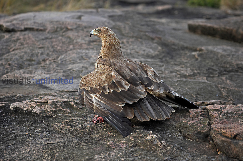 Tawny Eagle on rock with prey in its talons (Aquila rapax), Kenya.
