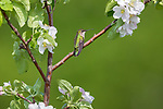 Female ruby-throated hummingbird perched in a flowering apple tree in northern Wisconsin.