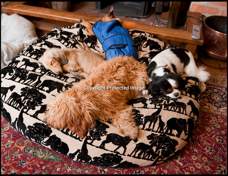 BNPS.co.uk (01202 558833).Pic: Phil Yeomans/BNPS..Upmarket hotel for posh dogs...No kennels or cages, Sarah's ''guest's' relax in front of the wood burning stove...Sarah Mountford of House of Mutt - Britains first 'five star' hotel for hounds - set up to offer luxury accomodation for Britains top dogs in the heart of rural Suffolk...Sarah offers a luxury retreat for some of Britain's most pampered pooches where the highly strung pets can relax and unwind from the stresses of urban life and demanding owners...With no kennels or cages Sarah's pamperred pooches get the canine answer to an up-market Spa resort with long walks, stress checks, warm fires, comfy couches, medical onceover's, shampoos and they can even have their portrait painted..before being delivered back to the door of their grateful owner's..Sarah is struggling to kep up ith demand for her new venture based in Fakenham magna...with many owners asking if they can book in as well.