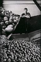 Europe/France/Nord-Pas-de-Calais/59/Nord/Meteren: Tri des  pommes de terre à  l'entreprise Asseman