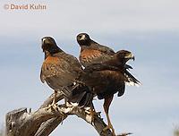 0405-1223  Family of Harris's Hawks  Perched Looking for Prey, Harris Hawk (Bay-winged Hawk or Dusky Hawk), Parabuteo unicinctus  © David Kuhn/Dwight Kuhn Photography