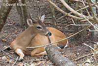 0528-1103  Central American White-tailed Deer, Belize, Male Deer with Velvet Antlers (antlers growing in soft cartilaginous state), Odocoileus virginianus truei  © David Kuhn/Dwight Kuhn Photography