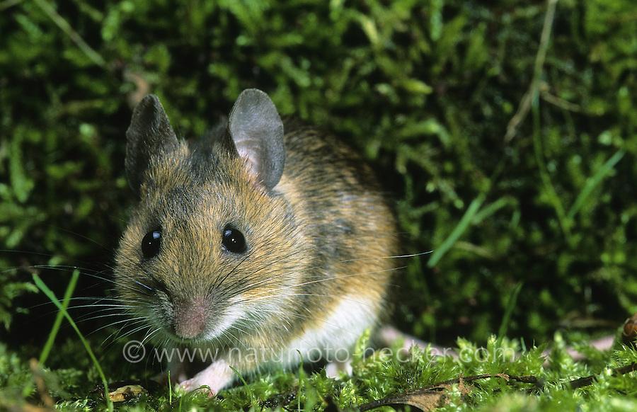 Gelbhalsmaus, Gelbhals-Maus, Maus, Apodemus flavicollis, yellow-necked mouse