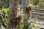 Epiphytes On Tree, Audubon Corkscrew Swamp Sanctuary