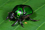 Irridescent Green Scarab or Dung Beetle, Scarabidae sp, Iquitos, Peru, Amazonian jungle, wild, on leaf, female. .South America....