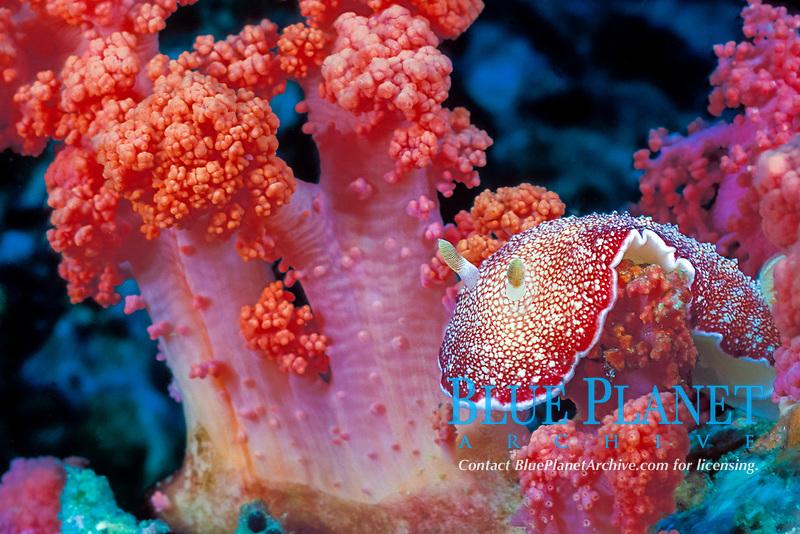 nudibranch, or sea slug, Chromodoris reticulata or Chromodoris tinctoria, on soft coral, Gato Island Marine Reserve, off Cebu Island, Philippines (Visayan Sea / Western Pacific Ocean)
