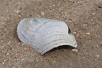 Krause Bohrmuschel, Raue Bohrmuschel, Rauhe Bohrmuschel, Zirfaea crispata, Schale, Muschelschale am Strand, Spülsaum, great piddock, oval piddock