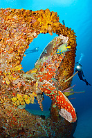 divers and a queen angelfish, Holacanthus ciliaris, around the propeller, on the wreck of the Hilma Hooker, a 236 foot long cargo vessel that sunk in 1984 off the island of Bonaire, Netherlands, Caribbean Sea, Atlantic Ocean