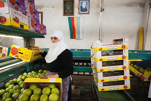 Plateau du Golan occupe, Israel, Fevrier 2011. Une femme druze travaille dans une cooperative de pommes.