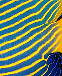 Detail of Emperor angelfish (Pomacanthus imperator)