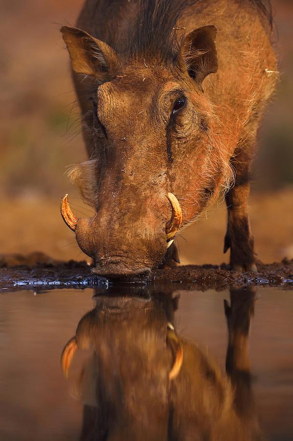 Common Warthog (Phacochoerus africanus), Zimanga Private Nature Reserve, KwaZulu Natal, South Africa