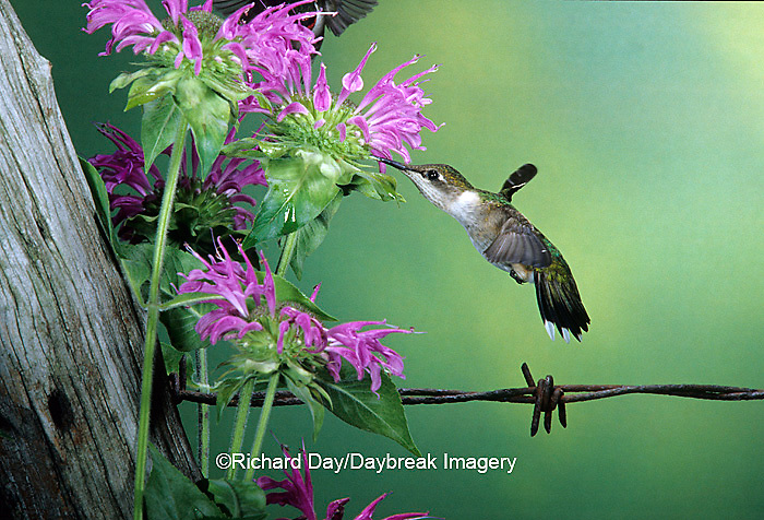 01162-060.06 Ruby-throated Hummingbird (Archilochus colubris) female at Bee Balm (Monarda sp.) Shelby Co. IL