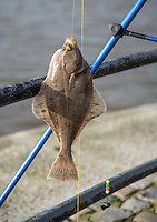 A European flounder (Platichthys flesus) caught by fishermen fishing on the River Ribble where it joins the entrance to Preston dock,Preston, Lancashire.
