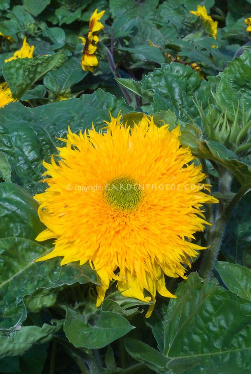 Helianthus 'Double Delight' sunflowers