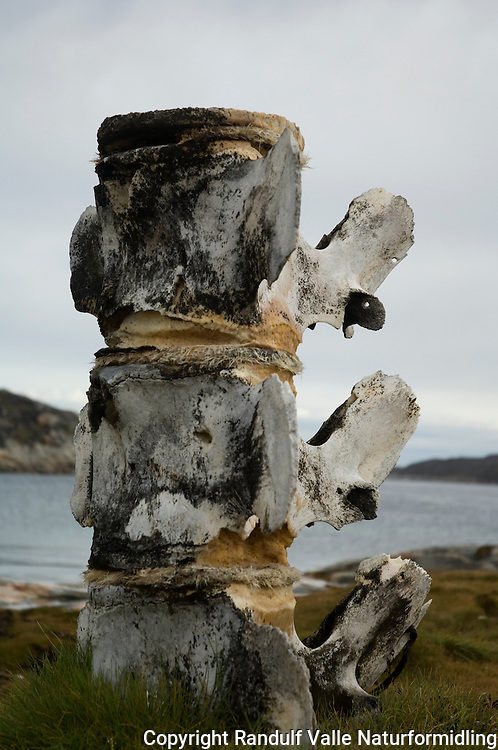Ryggrad fra hval ---- Spinal cord from whale