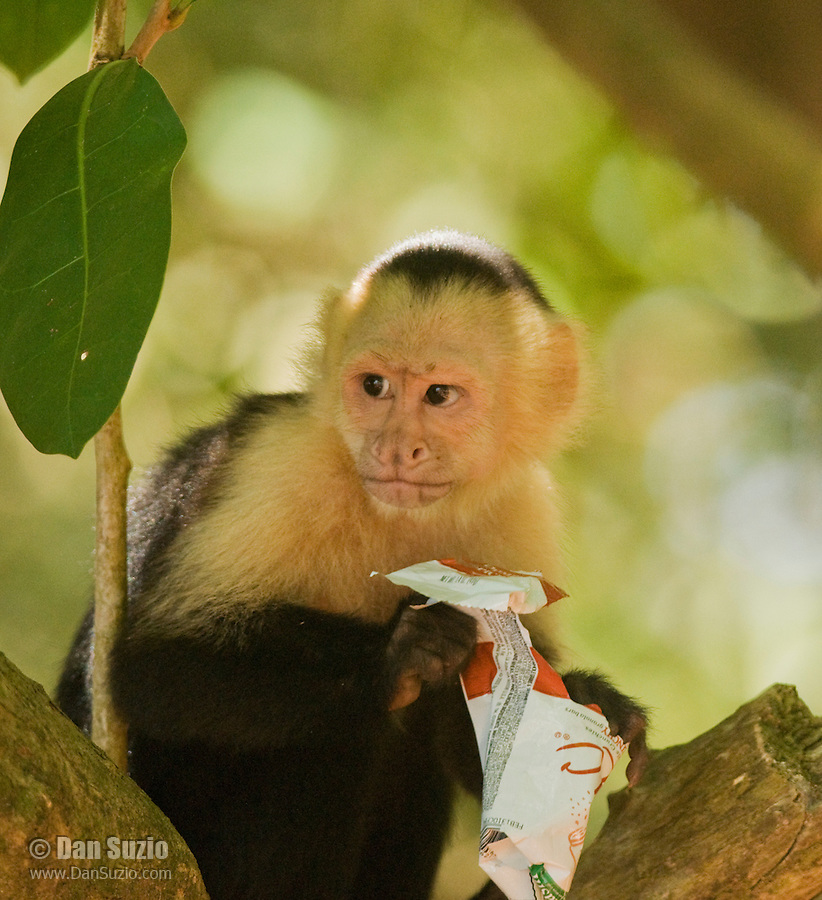 A white-faced capuchin, Cebus capucinus, holds a food wrapper that it found in a trash can in Manuel Antonio National Park, Costa Rica
