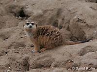 0215-08rr  Meerkat, Suricata suricatta © David Kuhn/Dwight Kuhn Photography