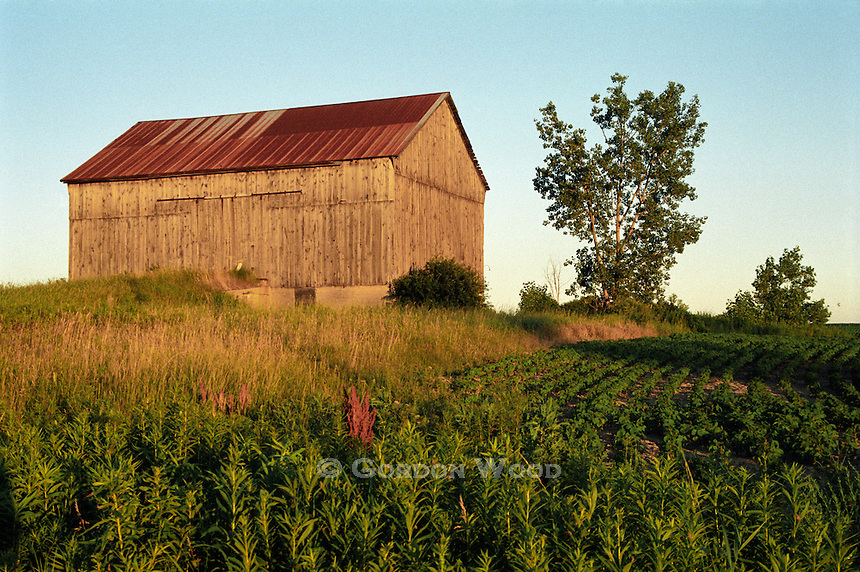 Barn at Sunset, Weeds & Soybean