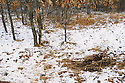 00273-044.04 White-tailed Deer Hunting: Buck scrape in fresh snow is under typical  overhanging branch.  Rut, breed, hunt.paw, earth.