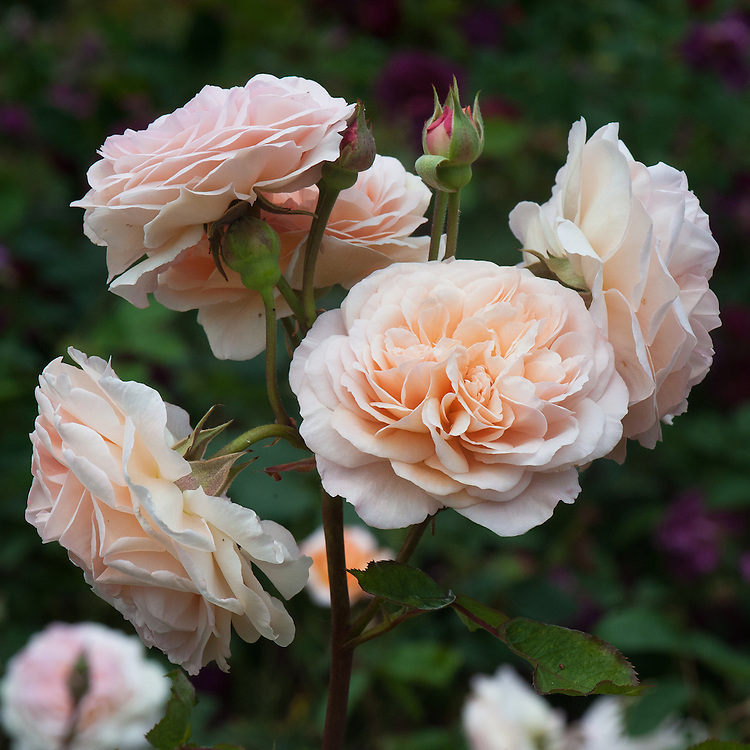 Rosa Leander ('Auslea'), late June. A modern shrub rose with apricot-pink flowers. From David Austin, 1982.