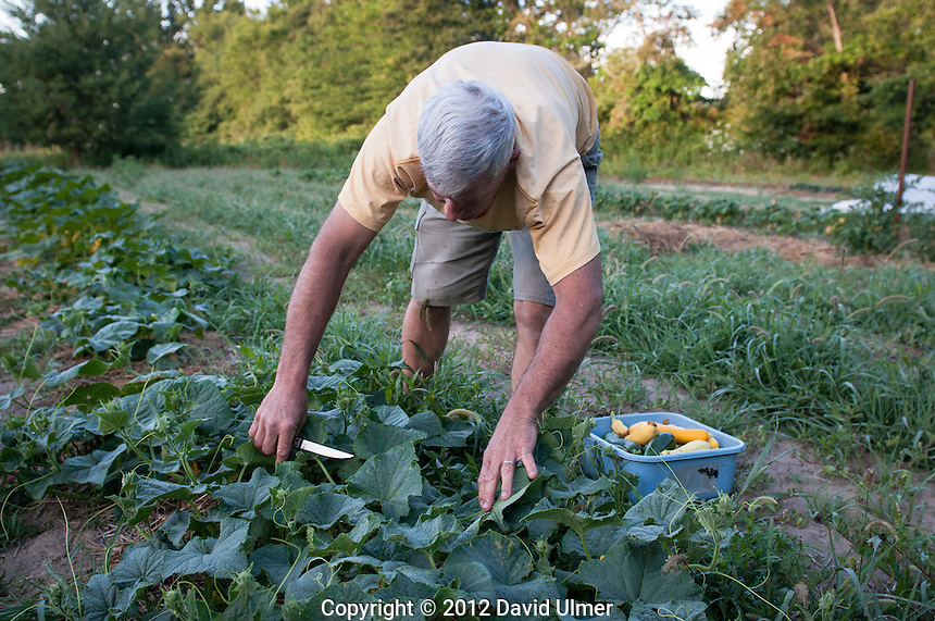 An organic gardener harvests his produce for the local farmers market in Greenville, Illinois.
