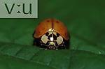 Nine Spotted Ladybug Beetle ,Coccinella novemnotata,