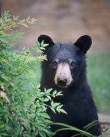 Close view of a black bear's face sitting in an urban garden in North Carolina Blueridge Mountains