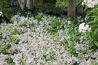 White garden with Aster divaricata, Phlox 'David', and Aspen; Denver Botanic Garden - Woodland Mosaic Garden