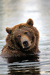 An Alaskan Brown Bear takes a break from searching for food in a deep river in Katmai National Park, Alaska.