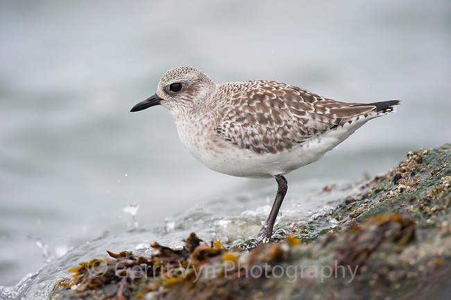Black-bellied Plover (Pluvialis squatarola) in basic (winter plumage) on coastal rocks. Ocean County, New Jersey. January.