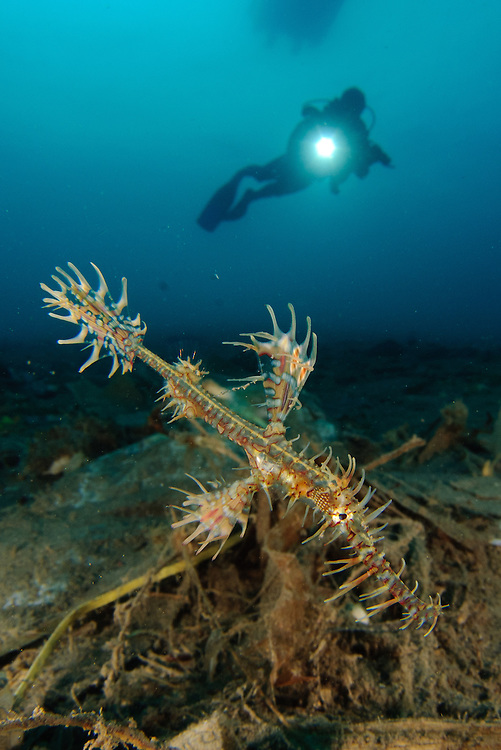 ornate ghost pipefish: Solenostomus paradoxus amongst volcanic debris and rubbish with diver, Gorontalo, Indonesia