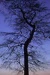 Bare winter Common beech or Fagus sylvatica tree silhouetted against pink to purple evening sky with gibbous moon visible between branches