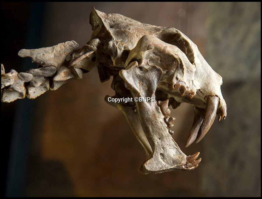 BNPS.co.uk (01202 558833)<br /> Pic: PhilYeomans/BNPS<br /> <br /> Sold for £40,000 - Sabre tooth tiger fossil.<br /> <br /> Fancy a duck billed dino for your living room...? - Auctioneer Rupert van der Werff with a 180 million year old 'Statement piece'.<br /> <br /> The contents of a closed down natural history museum has been auctioned off in a once-in-a-180 million year lifetime sale today.<br /> <br /> The collection of old dinosaur bones and fossils had been displayed for years at the internationally-acclaimed Emmen Zoo in Holland.<br /> <br /> The highlight of the sale to be held in West Sussex is the complete skeleton of a 25ft long harpocrasaurus or a duck-billed dinosaur which dates back to 75 million years ago.