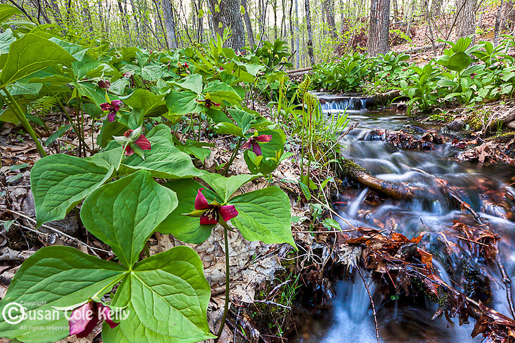 Red Trillium in Nottingham, New Hampshire, USA