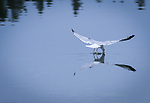 Ring-billed Gull skimming the water over Island Park Reservoir in Idaho