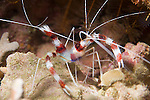 Anilao, Philippines; a Cleaner Shrimp (Stenopus hispidus) in a crevice of the coral reef
