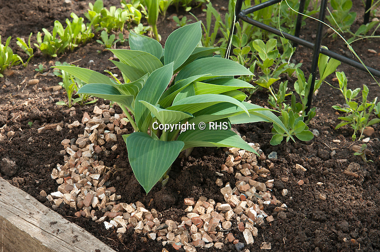 Applying a mulch of sharp grit around a hosta as a potential barrier to slugs and snails.