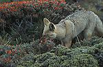 Grey Fox cub eating flowers from shrub